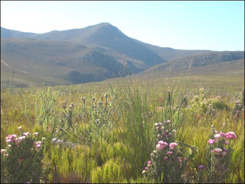 Fynbos in the Overberg