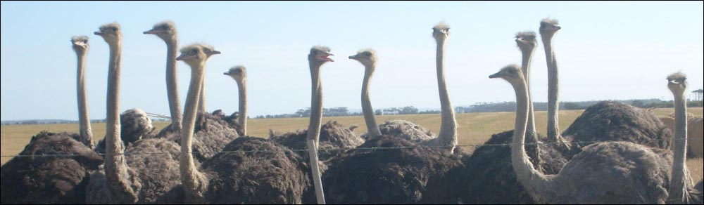 Ostriches in the Overberg